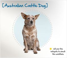 Did you know the predecessors of Australian Cattle Dogs were called Hall's Heelers after their creator, Thomas Hall? Read more about this breed by visiting Petplan pet insurance's Condition Checker!