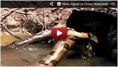 Black Jaguar vs Green Anaconda! Watch here:  http://gdurl.tk/ET