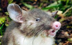 La rata de nariz de cerdo, nueva especie de mamífero descubierta en la isla de Sulawesi, Indonesia (EPA, 2015)