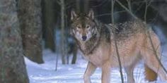 wolf movement - Google Search Husky, Wolf, Google Search, School, Animals, Animales, Animaux, Wolves, Animal