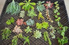 20 Succulent Cutting 15 Variety Collection Starer Kit Wall Arrangements Dishes | eBay