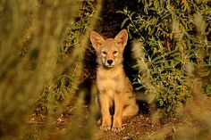 coyote pups | Coyote Pup