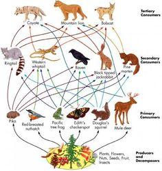Resultado de imagen para coniferous forest food chain