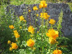 Flower seen in Langenes 2015