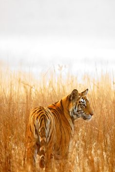 "Tiger Fact: ""The long grass conceals me, I do like to ambush my prey with the element of surprise!"" By Vijay Nagarajan."