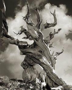 Pendant 14 ans elle photographie les arbres les plus vieux du monde Des portraits du temps  Page 2 sur 2