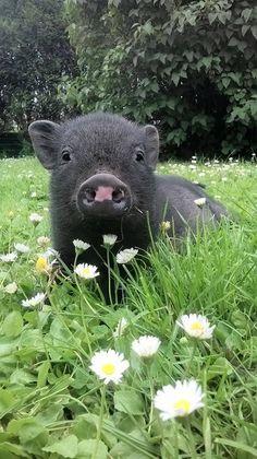 Cute Baby Pigs, Cute Piglets, Cute Little Animals, Cute Funny Animals, Cute Reptiles, Mini Pigs, Pet Pigs, Cute Animal Photos, Mundo Animal