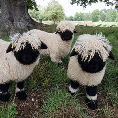 These Blacknose Sheep Are Real Eventhough They Look Like Stuffed Animals - The Valais Blacknose sheep (Or in German: Walliser Schwarznasenschaf) is a breed of domestic sheep - Fluffy Cows, Fluffy Animals, Cute Baby Animals, Animals And Pets, Animals Planet, Wild Animals, Stuffed Animals, Stuffed Toy, Valais Blacknose Sheep
