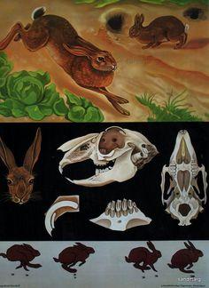Hare Wild Rabbit  Jung Koch Quentell Zoology Chart