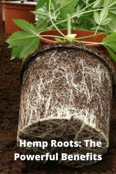 The Powerful Benefits of Hemp Roots: The Hidden Part of Cannabis