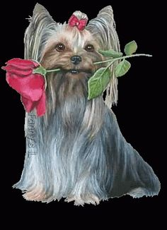 The perfect Dog Animated GIF for your conversation. Discover and Share the best GIFs on Tenor. Yorkies, Yorkie Dogs, Cute Puppies, Cute Dogs, Dogs And Puppies, Silky Terrier, Terrier Mix, Gifs, Rose Scintillante