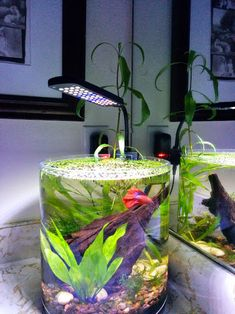 2.8 gallon vase tank for the Betta http://www.plantedtank.net/forums/showthread.php?t=668858