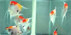 Freshwater angelfish - koi angelfish. Most people have heard of Koi Carp, but many never thought the carp and angelfish could be combined.