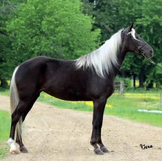 rocky mountain horse //