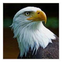 Eagle Pictures, Tiger Pictures, Eagle Artwork, Eagle America, Wings Drawing, Super Cute Puppies, Eagle Head, Exotic Birds, Art World
