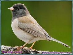 gambar burung junco