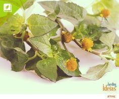 Jambú é conhecido também por outros nomes, como agrião-do-pará, agrião-da-amazônia e agrião-do-norte. Essa hortaliça pode ser consumida na forma de chá ou ainda de salada, no entanto, é contraindicado para grávidas.