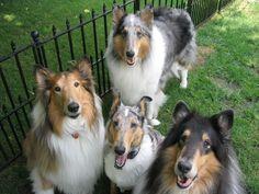 El collie es un perro fuerte activo, ágil, que combina la fuerza, la velocidad y la gracia. Su paso sugiere necesidad de esfuerzo, así como la capacidad de cambiar la velocidad y dirección al instante,