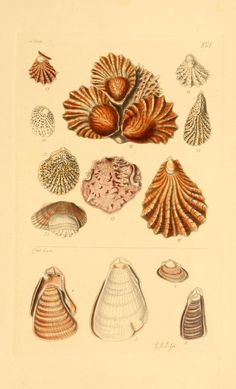 v.1 (1847) - Thesaurus conchyliorum, or, Monographs of genera of shells - Biodiversity Heritage Library