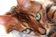 Bengal Cat; Has a Very Lovely Face.