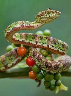 ˚Eyelash Palm-Pitviper (Bothriechis schlegelii) Esmeraldas, Ecuador by Lucas M. Bustamante @ flickr