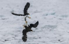 #Steller_Sea_Eagles - I named this image - Locking Talons - copyrighted - bruna@thrumyafricanlens.co.za