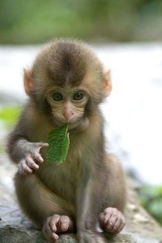 Cute baby monkey, cute baby animals, funny animals, animals and p Primates, Cute Creatures, Beautiful Creatures, Animals Beautiful, Little Monkeys, Cute Little Animals, Snow Monkeys, Adorable Animals, Animals And Pets