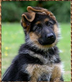 Red German Shepherd Dogs - Bing Images... do you know my free dog training tips? tipsfordogs.info/...