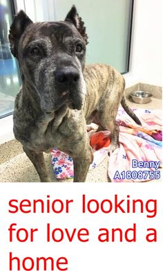 NO INFO available 8/26/16 ~ Extremely friendly, loving, sweet and handsome! Mellow and easy going. This pup is a lovebug in four legs with pretty brindle color. BENNY has a big heart filled of love for you! Miami Dade County, FL