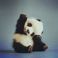 someone please buy me a baby panda. holy cow, what a cutie.
