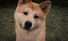 akita_inu_dog_face_eyes_grass_hachiko_53104_1920x1080