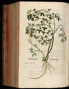 184845 Melilotus officinalis (L.) Pallas / Fuchs, L., New Kreüterbuch, t. 430 (1543)
