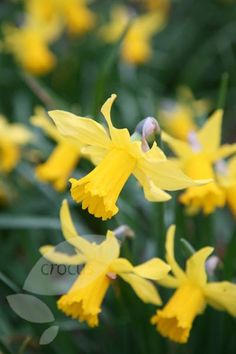 Cyclamineus daffodil bulbs Narcissus 'February Gold'