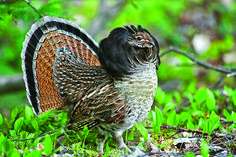 Grouse Hunting in the Hawthorns Ruffed Grouse: Heir to the Throne