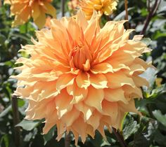 Informal Decorative Dahlia 'Hamari Gold'