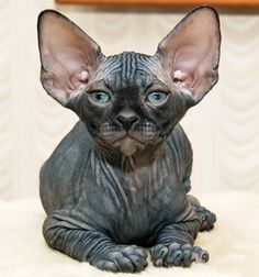 The Sphynx1 Hairless Cat Breeds -Know more about cat breeds at catsincare.com!