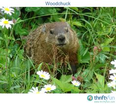This is a woodchuck that visits my yard at least three times a week. They are quite shy, and it ran off as soon as it realized I was there!