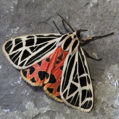 he Virgin Tiger Moth (Grammia virgo) is a moth of the Arctiidae family. It is found from Newfoundland south to Florida west to Alberta.  The colour of the hindwings varies from yellow to scarlet, with one or more median dark blotches in addition to the discal spot.  The larvae feed on various low-growing plants. The species overwinters in the larval stage.