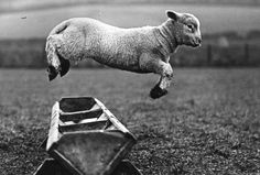 theconstantbuzz: A lamb jumping over a trough,...
