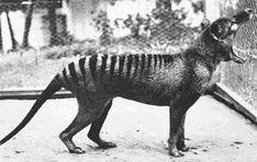 Tilacino o Demonio de Tasmania