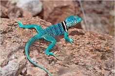 Broadley's Flat Lizard | Dickerson's Blue Collared Lizard (Crotaphytus dickersonea)