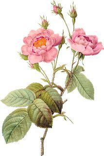 """Photo from album """"Винтажные цветы. Rose Illustration, Floral Illustrations, Flower Png Images, Flower Pictures, Vintage Botanical Prints, Botanical Drawings, Botanical Flowers, Botanical Art, Vintage Flowers"""