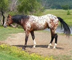 Bar Tee Snickers, bay Appaloosa stallion