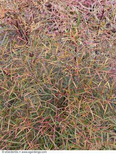 Nandina domestica 'Filamentosa' | Common Name: Thread Leaf Heavenly Bamboo | eGardenGo