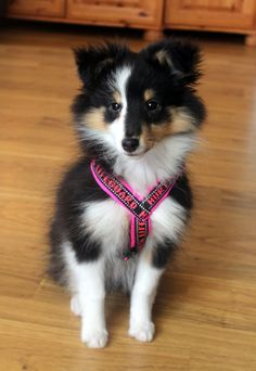The Shetland Sheepdog originated in the and its ancestors were from Scotland, which worked as herding dogs. These early dogs were fairly Cute Puppies, Cute Dogs, Dogs And Puppies, Doggies, Animals And Pets, Baby Animals, Cute Animals, Collie, Sheep Dog Puppy