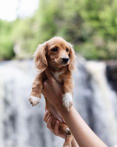 Outstanding Beautiful dogs detail are available on our website. Take a look and you wont be sorry you did. Dapple Dachshund, Long Haired Dachshund, Dachshund Love, Long Haired Miniature Dachshund, Dachshund Gifts, Daschund, Cute Dogs Breeds, Cute Dogs And Puppies, Baby Dogs