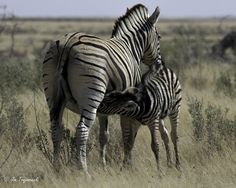Wildlife Photo of the Day - April 4, 2016: There were a number of zebras in the area. This foal decided it was time for lunch. This photo was taken on a trip to Namibia with Nat Hab.