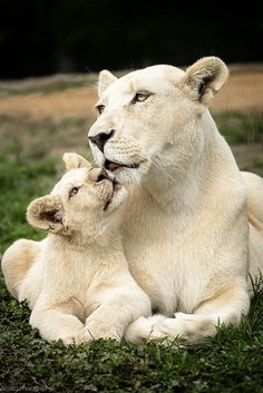 ~~White Lion mother and cub