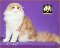 2nd BEST KITTEN GC, NW COUPARI DUSTIN Cream Tabby & White Longhair Scottish Fold