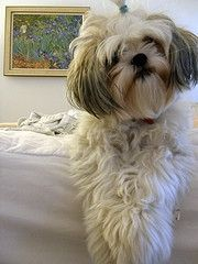 Popular Shih Tzu Haircuts | Shih Tzu Puppy Haircuts | Dogs, Cats and Snakes